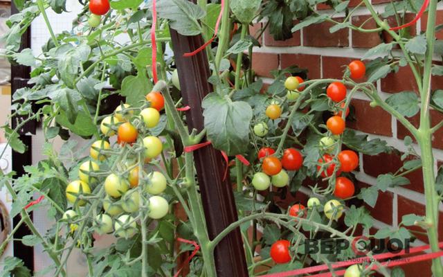 Hướng dẫn cách trồng và chăm sóc cà chua bi trĩu quả tại nhà